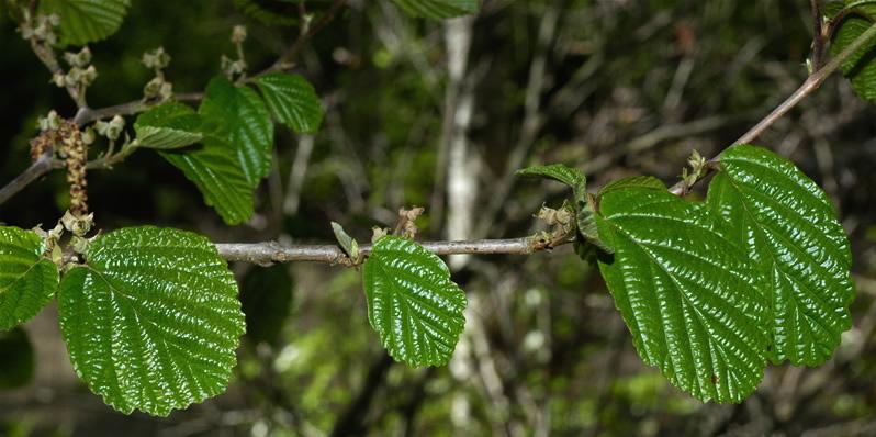 witch hazel leaf