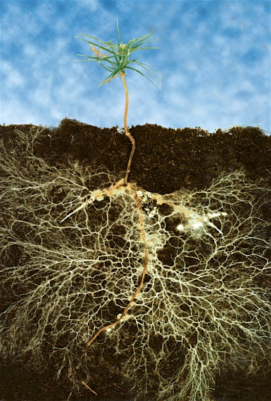 Sally Smith, Mycorrhizal Symbiosis